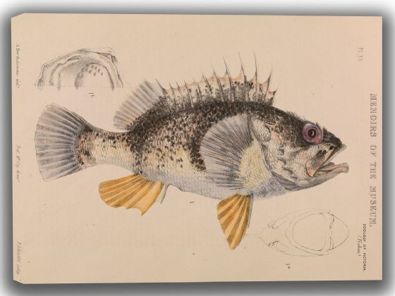 Bartholomew, Arthur: Ocean Perch, Helicolenus Percoides. Fine Art Canvas. Sizes: A4/A3/A2/A1 (004155)